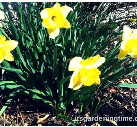 Early Spring Daffodils how to garden beginner gardener