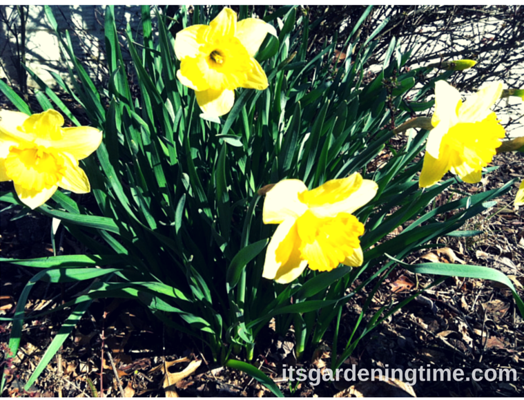 Early Spring Daffodils how to garden beginner gardener