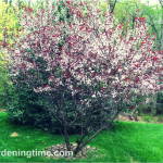 6 Reasons to #Grow #Cistena #Shrub! #pinkflowers