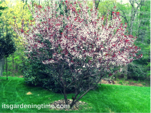 Cistena Shrub in Full Bloom! how to garden beginner gardener