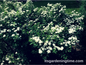 Snowmound Spirea Blooms Look Like Snow! beginner gardener how to garden