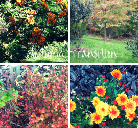 Autumn Transition (Pyracantha Teton, Oak tree, Golden Barberry, Pumpkin Chrysanthemum) beginner gardener how to garden