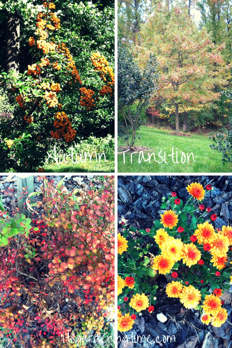 Autumn Transition (Pyracantha Teton, Oak tree, Golden Barberry, Pumpkin Chrysanthemum) beginner gardener how to garden