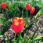 #Red #Tulips Blooming! #tulip #flowers