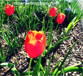 Red Tulips beginner gardener how to garden