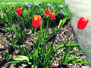 Red Tulips beginner gardener how to garden