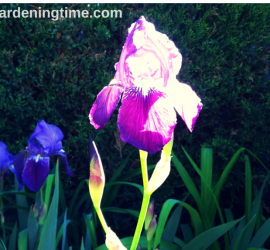 Bearded Iris beginner gardener how to garden