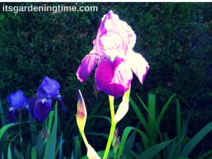 Bearded Iris beginner gardener how to garden