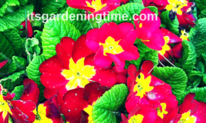 Primrose beginner gardener how to garden