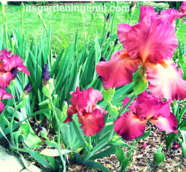 """Lady Friend"" Bearded Iris beginner gardener how to garden"