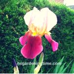"""Tropical #Butterfly"" Bearded #Iris Blooms! #flowers"