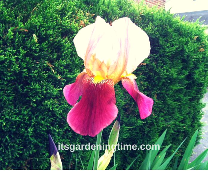 """""""Tropical Butterfly"""" Bearded Iris how to garden beginner gardener"""