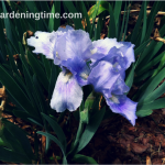 #Irises Stopped Blooming? Here's Why … #iris #flowers