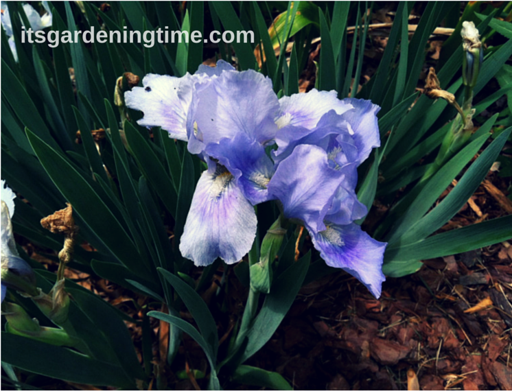 """Tinkerbell"" Bearded Iris beginner gardener how to garden"