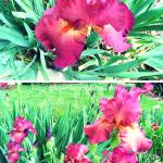 Nature's Version of Raspberry Lollipops! #Irises #flowers #flower
