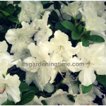 Best Time to #Prune #Azaleas? #pruning #howtoprune