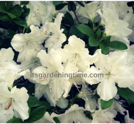 White Azaleas in Full Bloom! beginner gardener how to garden