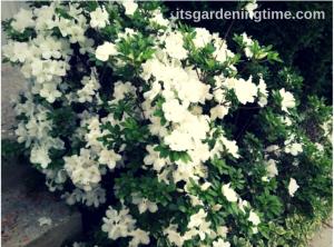 White Azaleas in Full Bloom! beginner gardener how to garden