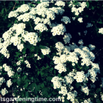 3 Ways to Prepare #Flowering #Shrubs for #Winter! #shrub