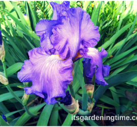 """Sonata in Blue"" Bearded Iris beginner gardener how to garden"