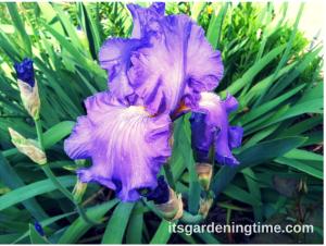"""""""Sonata in Blue"""" Bearded Iris beginner gardener how to garden"""