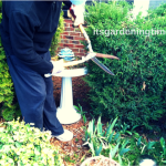 #Prune #Evergreens to Maintain Shape & Size!