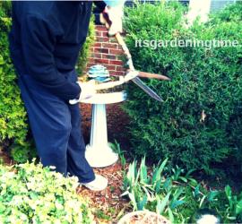 Prune Evergreens to Maintain Shape & Size beginner gardener how to garden