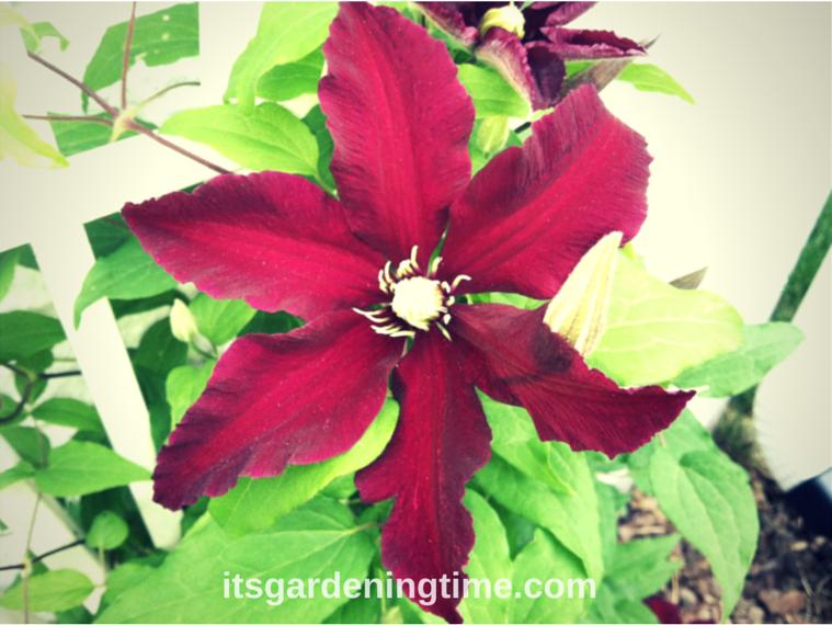 clematis vine beginner gardener how to garden