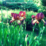 Indian Chief Bearded #Irises! #flowerpower #flowers