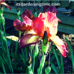 """Indian Chief"" Bearded #Irises! #flowers #flower #flowerpower"