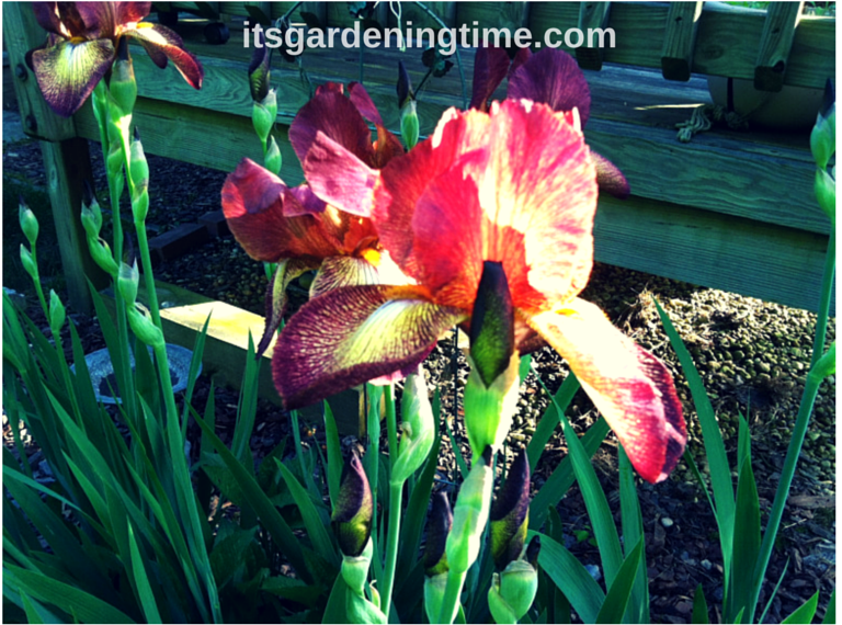 """Indian Chief"" Bearded #Irises beginner gardener how to garden"