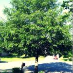 #DIY #Tree #Pruning! #prune #howtoprune #trees