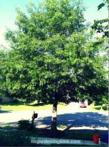 #DIY Oak Tree Pruning! how tom garden beginner gardener
