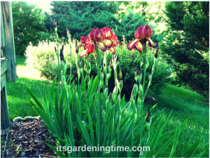 """Indian Chief"" Bearded Irises beginner gardener how to garden"