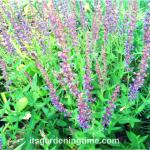 #Bees Love Purple #Salvia! #flowers #purpleflowers