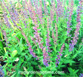Purple Salvia Perennial beginner gardener how to garden
