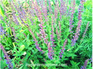 Purple Salvia Perennial beginner gardener how to garden