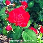 #Red #Roses in Full Bloom! #flowers #redroses #redflowers