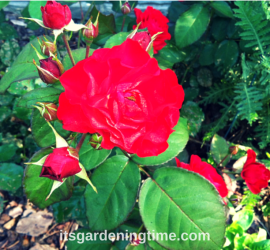 Red Roses beginner gardener how to garden