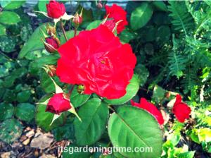 Red Roses beginner gardener how to garden
