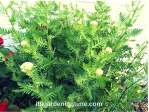 Golden Yarrow (Pre-Bloom) beginner gardener how to garden