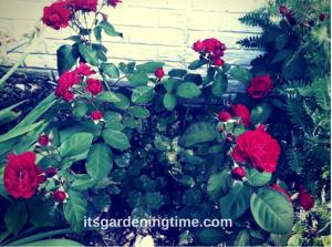 Red Roses Full Bloom beginner gardener how to garden