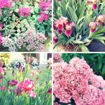 #Succulent #Sedum & Stunning #Irises! #flowers #pink