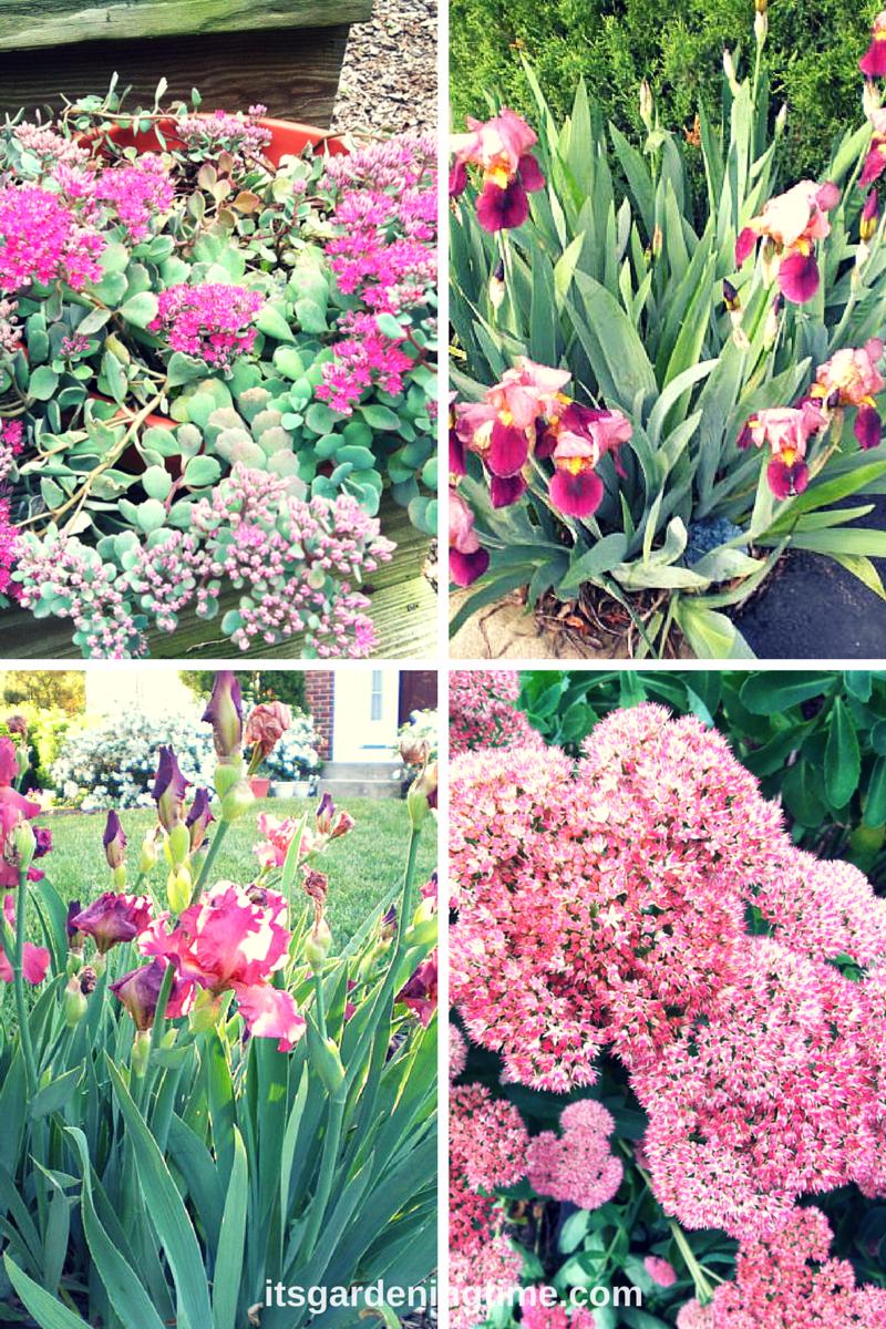 Combo: Sedum and Iris beginner gardener how to garden