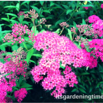 8 Reasons to #Grow Neon Spirea in Your #Garden & #Landscape!