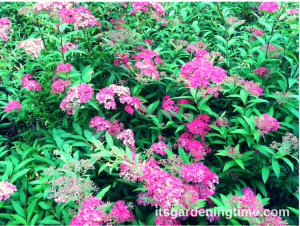 Neon Spirea Shrub beginner gardener how to garden