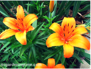 Asiatic Lilies (Orange) beginner gardener how to garden