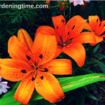 5 Reasons to #Grow Asiatic #Lilies! #orangeflowersarethebest