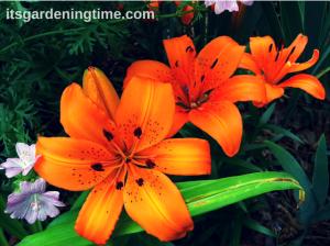 Asiatic Lilies (Orange) beginner gardener how to garden