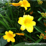 4 Ways #DayLilies Dazzle #Garden! #lily #lilies